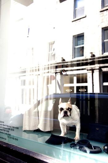 Cute French Bull Dog in shop window